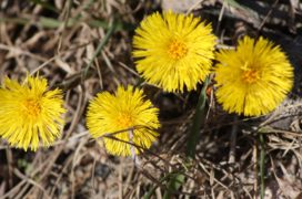 coltsfoot-427853_960_720